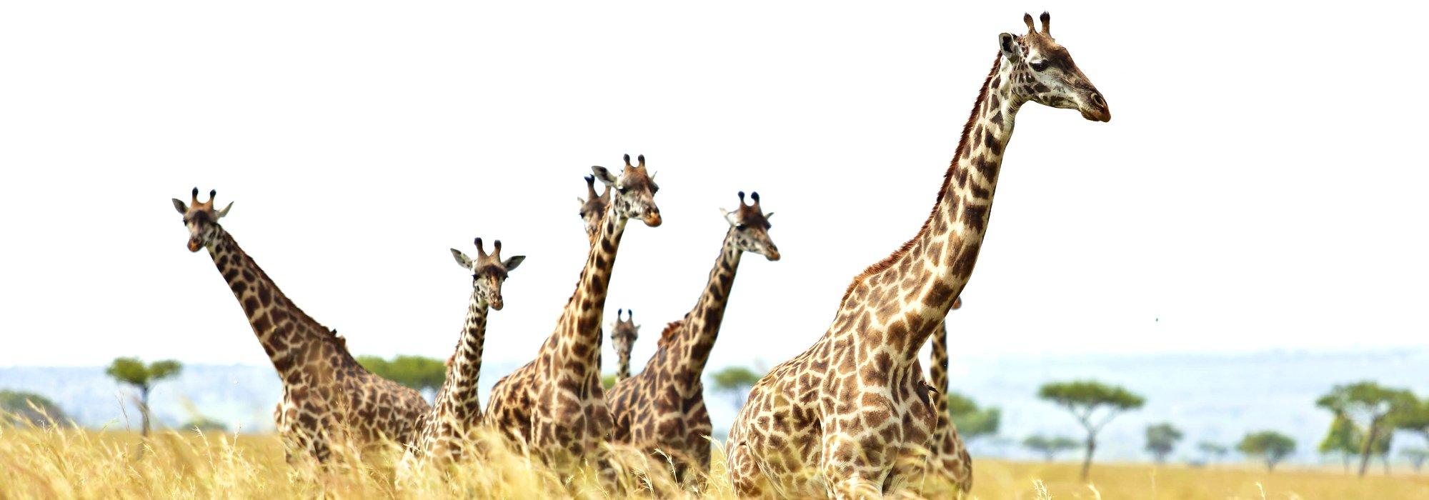 A Journey of Giraffes on the Maasai Mara