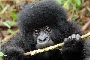 Gorilla in Volcanoes National Park, Rwanda