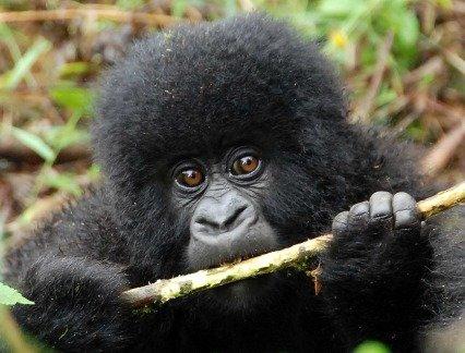 A baby gorilla in Uganda