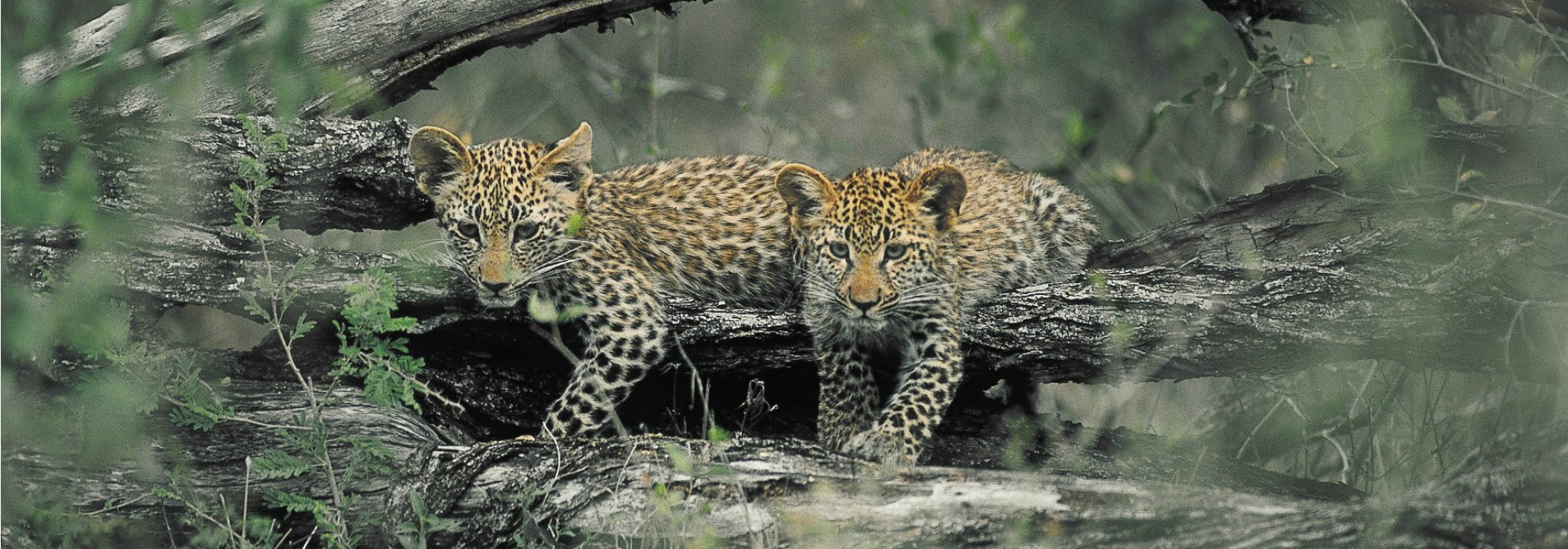Two Leopard cubs at Kruger National Park