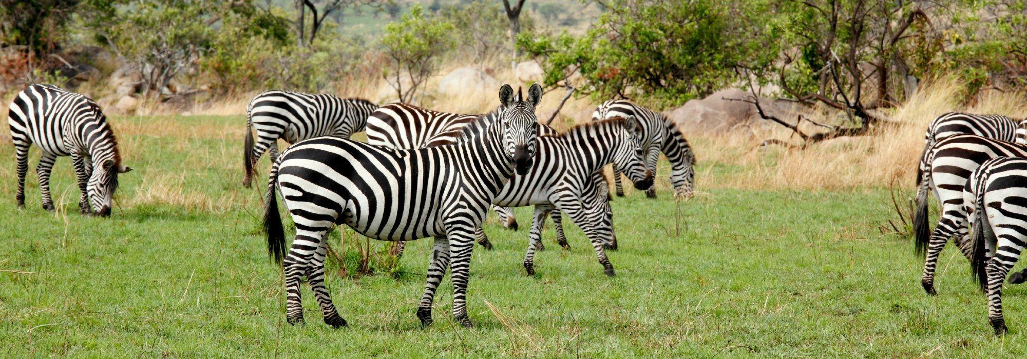 Serengeti Zebras as seen on safari